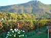 Own vineyards at Steenberg Golf and Security Estate